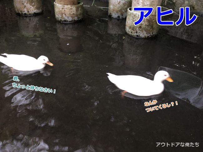 二羽のアヒル