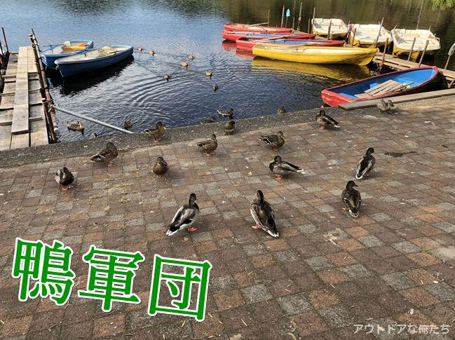 藺牟田池の鴨