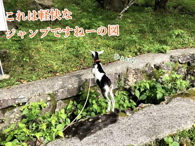 ヤギのジャンプ
